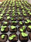 lettuce, nursery, sprout