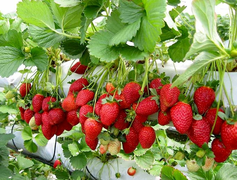 photo of strawberries on the vine