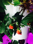 strawberries growing in a tower garden, leaves, lighting adjusted for growth spectrum