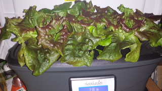 photo of lettuce growing in a small tub.